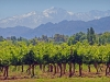 Mendoza Vineyard